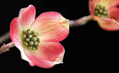 Photograph - Woof Pink Dogwood by JC Findley