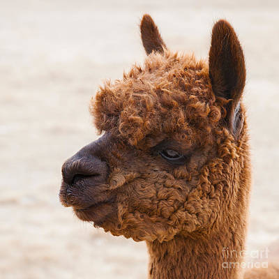 Photograph - Woolly Alpaca by Jerry Cowart