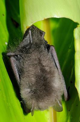Kerivoula Photograph - Woolly Bat, Malaysia by Fletcher & Baylis
