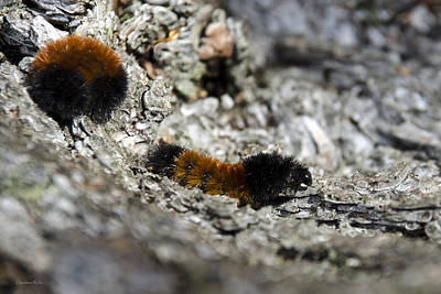 Rollos Photograph - Woolly Bear Caterpillar by Christina Rollo