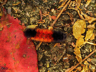 Photograph - Woolly Bear Caterpillar by Shawna Rowe