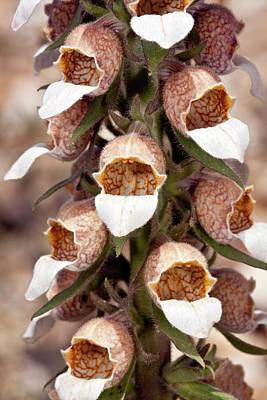 Woolly Foxglove (digitalis Lanata) Art Print by Bob Gibbons