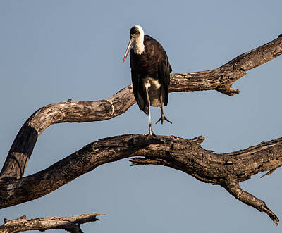Photograph - Woolly Necked Stork by Craig Brown