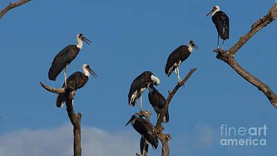 Photograph - Woollynecked Storks by Mareko Marciniak