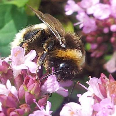 Nature_shooters Photograph - Working Bumblebee #nature_shooters by Lotte Corvinius