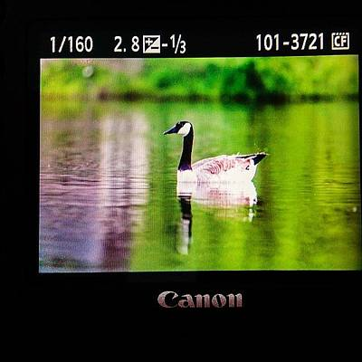Wildlife Photograph - Working On Scooter Lake #goose by Scott Pellegrin