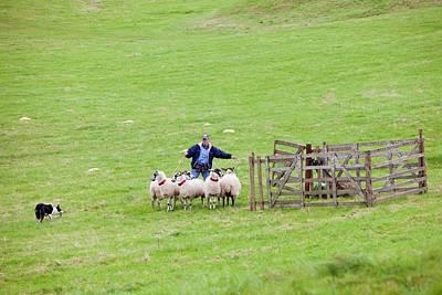 Sheep Dog Photograph - World Sheep Dog Trials by Ashley Cooper