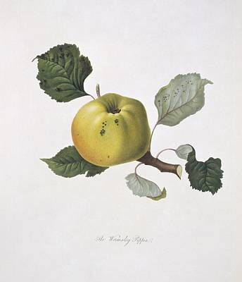 Wormsley Pippin Apple (1818) Art Print