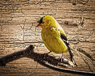 Wormy Wood American Goldfinch Art Print by Randall Branham