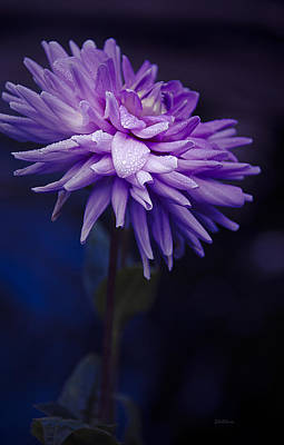 Photograph - Worton Blue Streak Dahlia by Julie Palencia