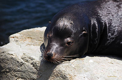 Photograph - Wounded Sea Lion Resting by Susan Wiedmann