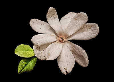 Photograph - Wounded White Magnolia by Weston Westmoreland