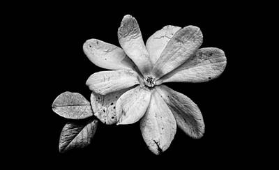 Photograph - Wounded White Magnolia Wide Version Black And White by Weston Westmoreland