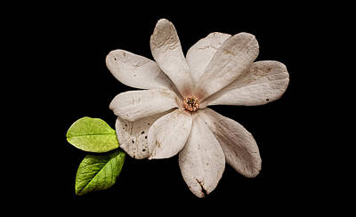 Photograph - Wounded White Magnolia Wide Version by Weston Westmoreland