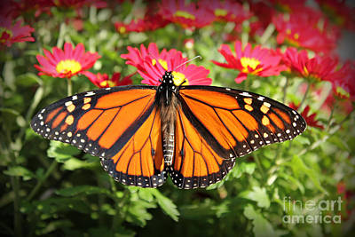 Photograph - Monarch Butterfly On His Way by Reid Callaway