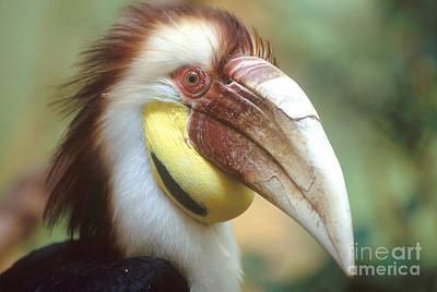 Wreathed Hornbill Print by Art Wolfe