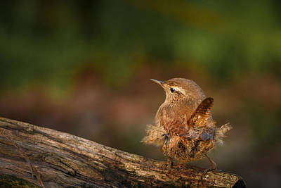 Munroe Photograph - Wren Having A Marilyn Munroe Moment by Izzy Standbridge