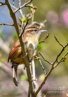 Photograph - Wren In Spring by Kathy Baccari