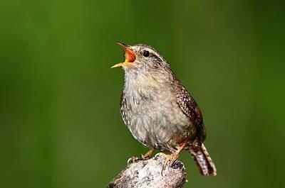 Wren Photograph - Wren Singing by Colin Varndell