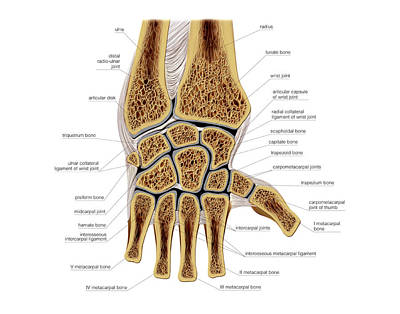 Human Joint Photograph - Wrist Joints by Asklepios Medical Atlas