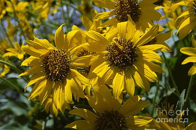 Beverly Brown Fashion Rights Managed Images - Wyethia Royalty-Free Image by Chris Selby
