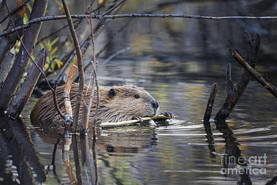 Photograph - Wyoming Beaver by Ronald Lutz