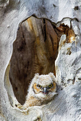 Owlets Photograph - Wyoming, Lincoln County, Great Horned by Elizabeth Boehm