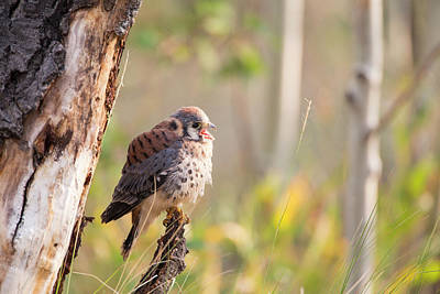 Kestrel Photograph - Wyoming, Sublette County, American by Elizabeth Boehm