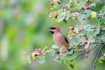 Wyoming, Sublette County, Cedar Waxwing Art Print by Elizabeth Boehm