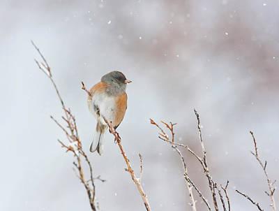 Snowstorm Photograph - Wyoming, Sublette County, Dark-eyed by Elizabeth Boehm