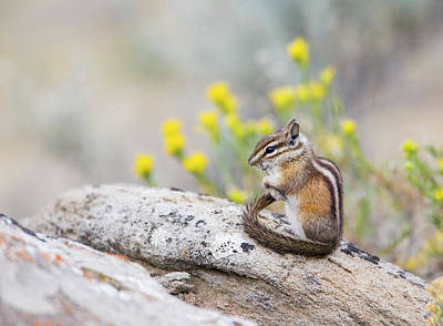 Chipmunk Photograph - Wyoming, Sublette County, Least by Elizabeth Boehm