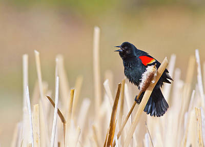 Red Wing Blackbird Photograph - Wyoming, Sublette County, Male by Elizabeth Boehm
