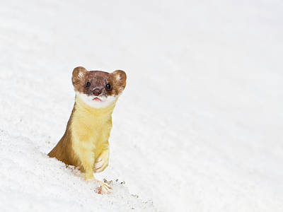 Weasel Photograph - Wyoming, Sublette County, Summer Coat by Elizabeth Boehm
