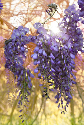 Wysteria Art Print by Debra and Dave Vanderlaan