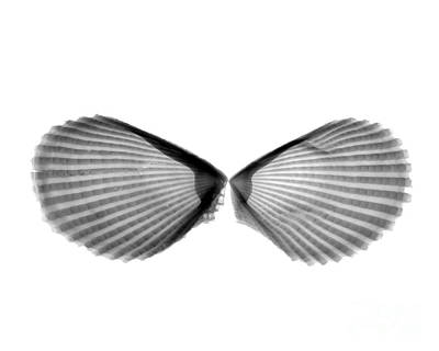 Designs In Nature Photograph - X-ray Of Angel Wing Shells by Bert Myers