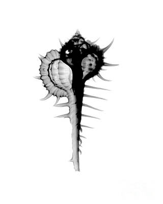 Designs In Nature Photograph - X-ray Of Cabrits Murex by Bert Myers