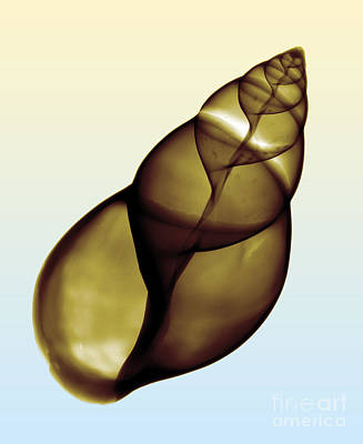 Photograph - X-ray Of Land Snail Shell by Bert Myers