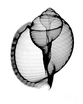 X-rays Of Photograph - X-ray Of Scotch Bonnet by Bert Myers