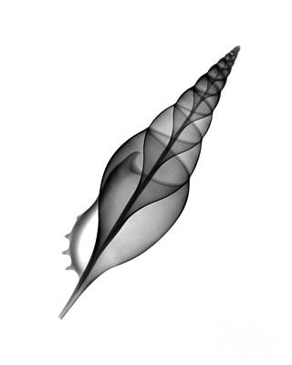 Designs In Nature Photograph - X-ray Of Tibia Shell by Bert Myers