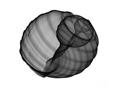 Photograph - X-ray Of Tun Shell by Bert Myers