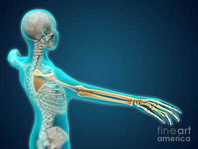X-ray View Of Human Body Showing Art Print by Stocktrek Images