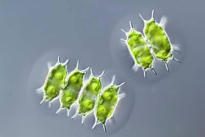 Xanthidium Antilopaeum Green Alga Art Print