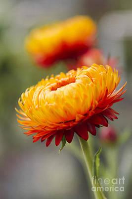 Xerochrysum Bracteatum - Golden Everlasting - Strawflower - Asteraceae - Hawaii Art Print by Sharon Mau