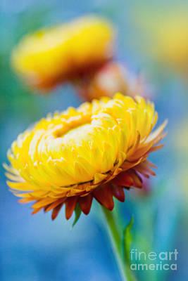 Xerochrysum Bracteatum - Golden Everlasting - Strawflower - Asteraceae  Kula Maui Hawaii  Art Print by Sharon Mau