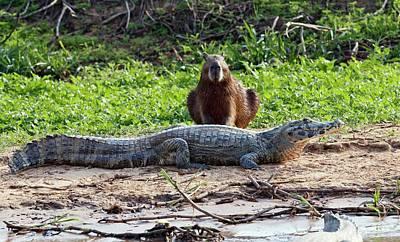 Crocodile Wall Art - Photograph - Yacare Caiman And Capybara by John Devries/science Photo Library