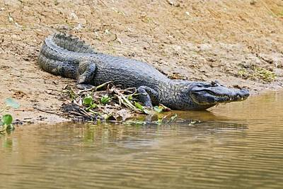 Crocodile Wall Art - Photograph - Yacare Caiman On A Riverbank by John Devries/science Photo Library