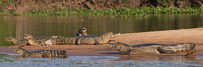 Wetlands Photograph - Yacare Caimans Caiman Yacare by Panoramic Images
