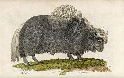 Yak Drawing - Yak          Date 1811 by Mary Evans Picture Library