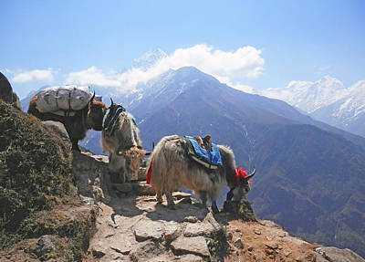 Photograph - Yaks Above Namche Bazaar by Pema Hou