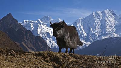 Photograph - Yak And Himal Chuli - Nupri Nepal by Craig Lovell